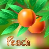 Melocotón anaranjado, jugoso, dulce en una rama para su diseño Vector Imagen de archivo libre de regalías