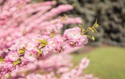 Melocotón brillante floreciente de las abejas y de las flores de la primavera Fotos de archivo
