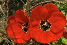 Melocotón del flor de Pinlk Imagen de archivo libre de regalías