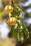Melocotón en un árbol Imagen de archivo libre de regalías