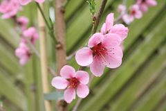 Melocotón floreciente foto de archivo