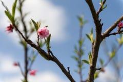 Melocotón floreciente Fotografía de archivo