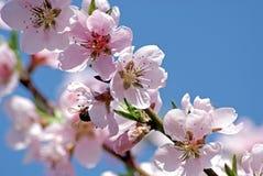 Melocotón floreciente Foto romántica de la primavera Imágenes de archivo libres de regalías