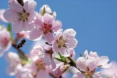 Melocotón floreciente Foto romántica de la primavera Fotografía de archivo libre de regalías