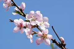 Melocotón floreciente Foto romántica de la primavera Fotos de archivo