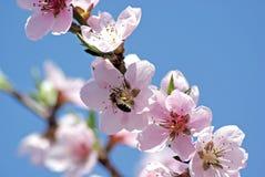 Melocotón floreciente Foto romántica de la primavera Imagen de archivo libre de regalías