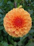 Melocotón hermoso y flor roja de la dalia imágenes de archivo libres de regalías