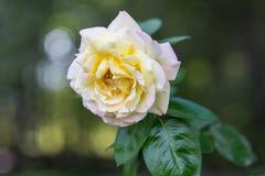 Melocotón Rose 3 imagen de archivo