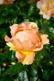Melocotón Rose Foto de archivo libre de regalías
