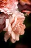 Melocotón Rose Macro Fotografía de archivo