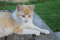 Melocotones el Cat4 Fotos de archivo libres de regalías