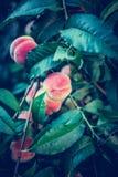 Melocotones maduros hermosos Foto de archivo