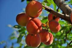 Melocotones maduros listos para escoger en ramas de árbol Foto de archivo libre de regalías