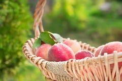 Melocotones orgánicos naturales escogidos frescos en una cesta al aire libre en su Foto de archivo