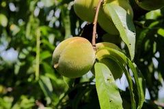 Melocotones verdes que cuelgan en la rama con las hojas verdes Imagen de archivo libre de regalías