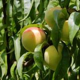 Melocotones verdes que cuelgan en la rama con las hojas verdes en un Garde Fotografía de archivo libre de regalías