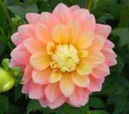 Melocotones y sueños Dalia Flower Imagen de archivo