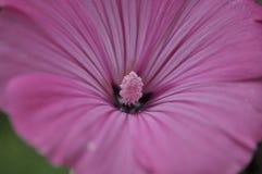 Melodia roxa Foto de Stock
