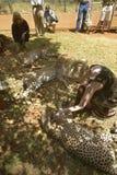 Melodia Taft Humanitarny społeczeństwo USA odwiedza geparda w zwierzęcej łatwości Nairobia, Kenja, Afryka przy KWS Kenja przyrody Obraz Stock
