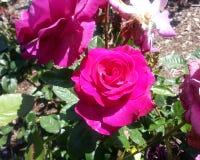 Melodie Parfumee Roses foto de stock