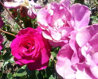 Melodie Parfumee Roses immagini stock libere da diritti