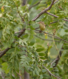 Melodious Warbler in dense vegetation Stock Images