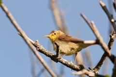 Melodious Warbler (Hippolais polyglotta) Royalty Free Stock Photos