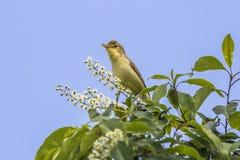Melodious warbler (Hippolais polyglotta) Royalty Free Stock Photo