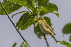 Melodious warbler (Hippolais polyglotta) Stock Photography