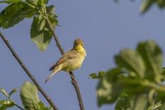 Melodious warbler (Hippolais polyglotta) Stock Photo