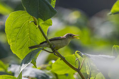 Melodious warbler (Hippolais polyglotta) Stock Images