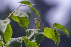 Melodious warbler (Hippolais polyglotta) Stock Photos