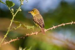 Melodious warbler (Hippolais polyglotta) Royalty Free Stock Image