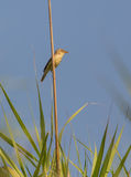 Melodious warbler on reed Stock Image