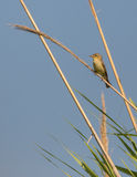 Melodious warbler on reed Royalty Free Stock Images