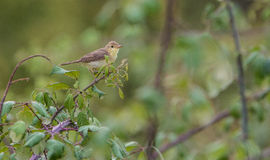 Melodious Warbler Royalty Free Stock Photo