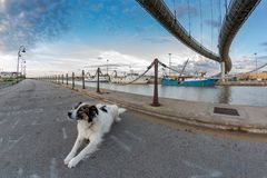 Melody the dog in Pescara. Bridge on the sea royalty free stock images