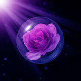 Melody Parfume rose in glass globe Stock Images