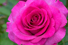Melody Parfumee Pink Rose Flower Stock Image