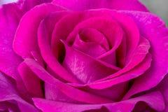 Melody Parfumee Rose. Pink petal spiral, Melody Parfumee, Rose flower Stock Photos