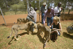 Melody Taft of Humane Society of US visits Cheetah in animal facility of Nairobi, Kenya, Africa at the KWS Kenya Wildlife Service Royalty Free Stock Photo