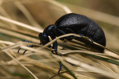 Meloe - beetle Royalty Free Stock Image