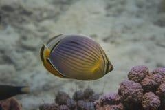 Meloen butterflyfish (Chaetodon-trifasciatus) Royalty-vrije Stock Fotografie