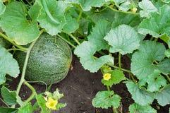 Meloen op een bed Stock Afbeelding