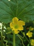 Meloeninstallatie met bloemen Stock Foto's