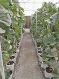 Meloenlandbouwbedrijf royalty-vrije stock afbeelding