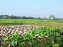 Meloenwijnstokken op bamboepergola, huizen en landbouwer die op het gebied werken stock afbeeldingen