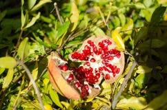 Melograni, frutta della stagione, ricche variopinti in vitamine ed antiossidante; ideale per i ricchi di una cucina nei menu e fe immagini stock libere da diritti