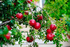 Melograni maturi rossi su un ramo verde Fotografie Stock