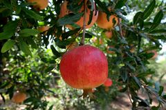 Melograni nel frutteto Fotografia Stock